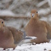 Mourning Doves by sunnygreenwood