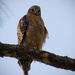 Hawk in the Backyard! by rickster549