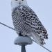 snowy owl by mjalkotzy
