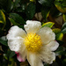 Camellias by jaybutterfield