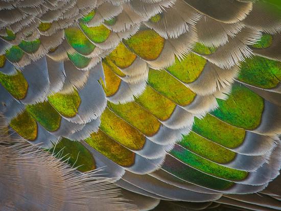 Bronze wing by jodies
