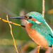 Male Kingfisher early morning sun by padlock