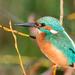 Male Kingfisher early morning sun by padlock