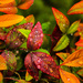 """Even the Shrubs Love """"Fall"""" by milaniet"""