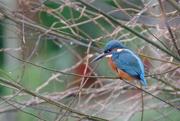 12th Dec 2016 - Kingfisher-male