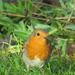 Our Robin Redbreast by phil_sandford