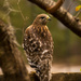 Red Shouldered Hawk! by rickster549