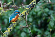 13th Dec 2016 - Kingfisher taken on a very grey day