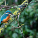 Kingfisher taken on a very grey day by padlock