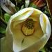 Magnolia by yorkshirekiwi