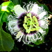 Passion fruit flower by 777margo