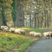 Sheep crossing .... by snowy