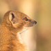 Yellow Mongoose by leonbuys83