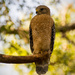 My Friend, the Red Shouldered Hawk! by rickster549