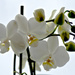 My new Orchid by elisasaeter