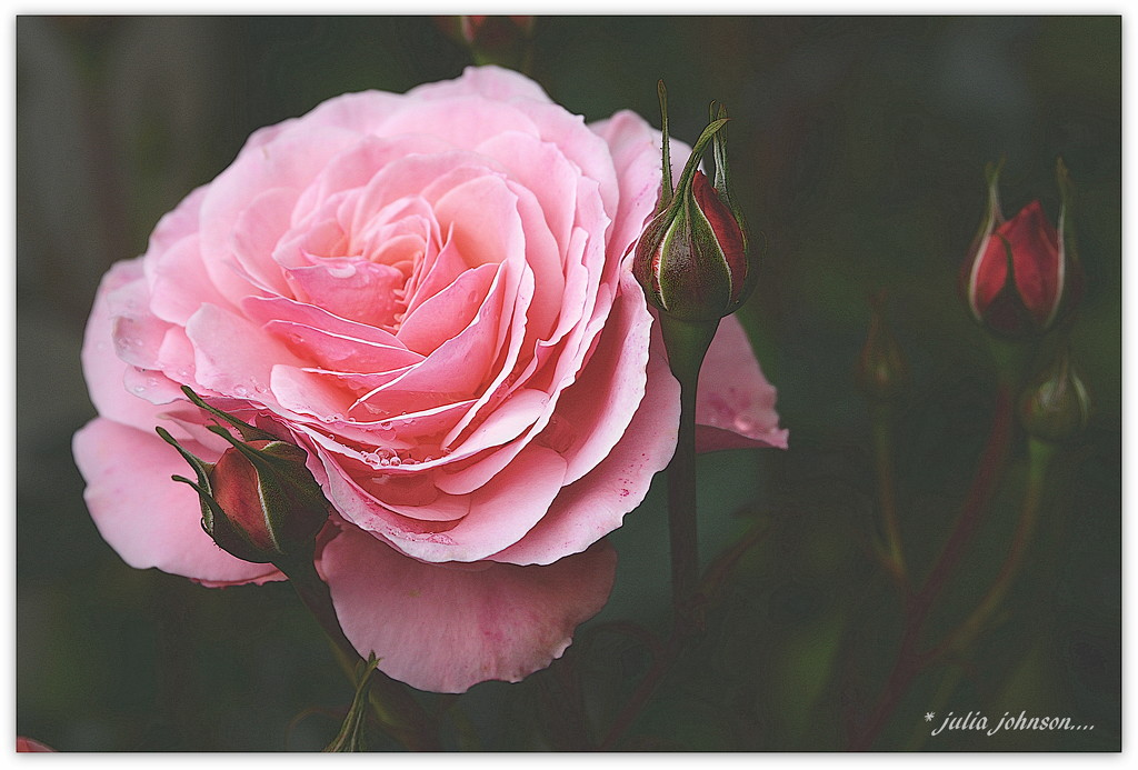 Raindrops and Rosebuds.. by julzmaioro