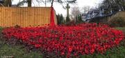 17th Dec 2016 - Poppy yarn bomb