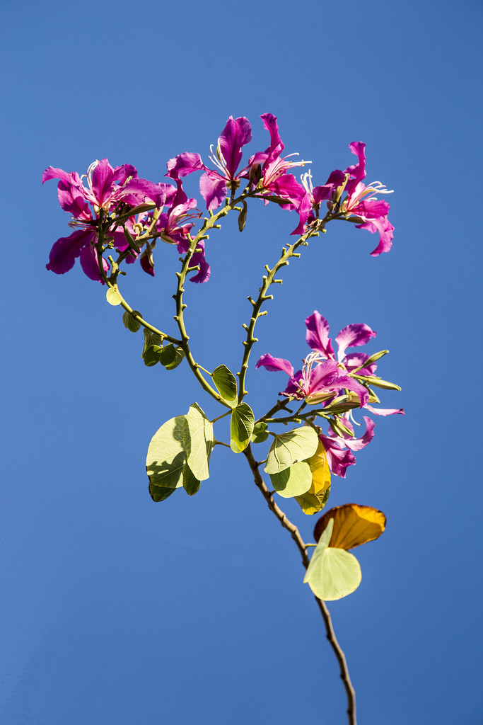 Purple Orchid Tree by pdulis