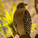 Imagine That, Another Red Shouldered Hawk! by rickster549