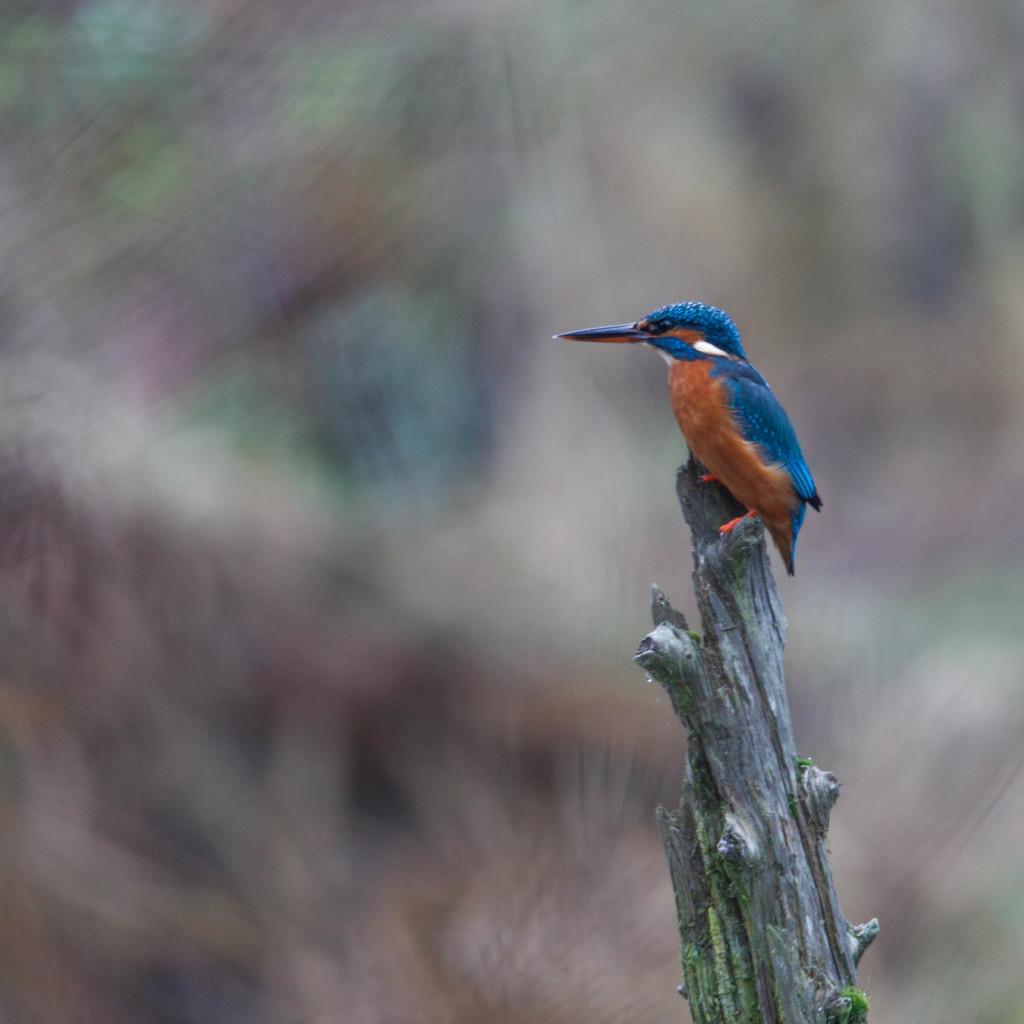 Female Kingfisher by padlock
