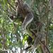 rock-a-bye koala baby by koalagardens