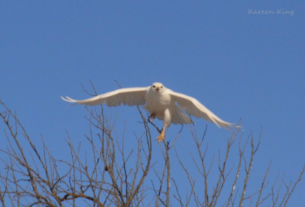 The Uncommon Leucistic Red-Tailed Hawk! by kareenking