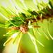 Nordman Pine by carole_sandford