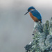 Kingfisher-looking down by padlock