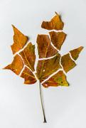 20th Dec 2016 - Autumn Leaf Deconstructed