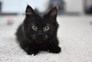 19th Dec 2016 - Meet Lord Toothless Fluffington