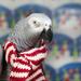 Kelly~Bird Christmas by lyndemc