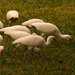 The Ibis Were Out in Force Today! by rickster549