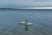 23rd Dec 2016 - Swans a Swimming