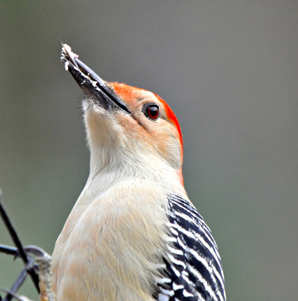 One more red-bellied woodpecker take. by sailingmusic