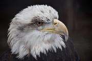 24th Dec 2016 - Eagle