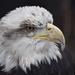Eagle  by vera365