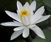 6th Dec 2016 - Water lilly with bug