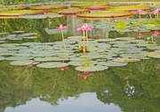 19th Dec 2016 - Pink water lilly