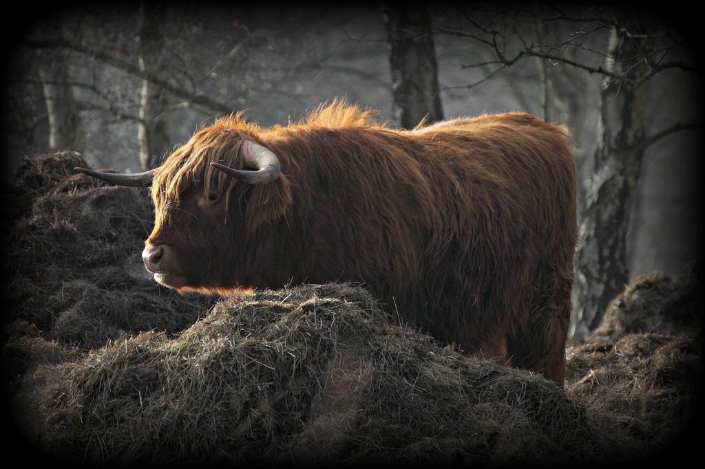 Highlander by gijsje