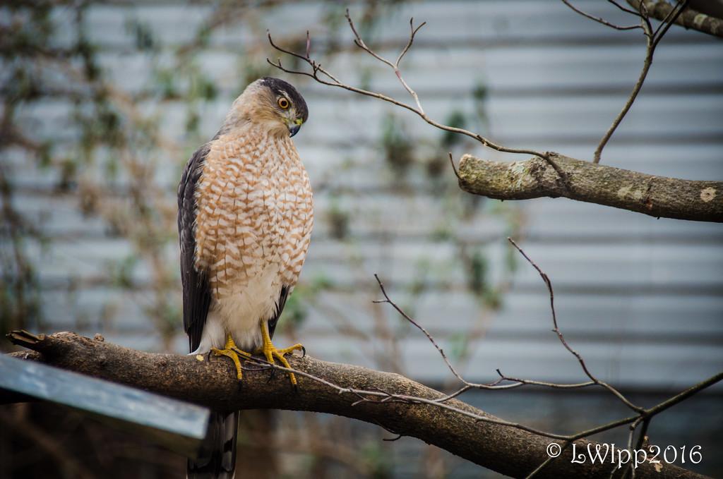 Hawk Eye by lesip