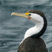 Pied Cormorant by onewing