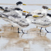 Terns on the beach by hrs