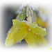 Frosted Forsythia by carolmw