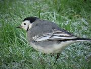 28th Dec 2016 - Garden Visitor - Pied Wagtail