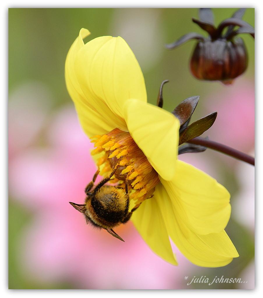 Fluffy Bum the Bee.. by julzmaioro