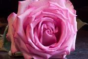 28th Dec 2016 - Pink Roses