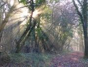 29th Dec 2016 - Morning sun through the beech trees