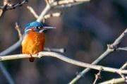 29th Dec 2016 - Kingfisher enjoying the afternoon sun