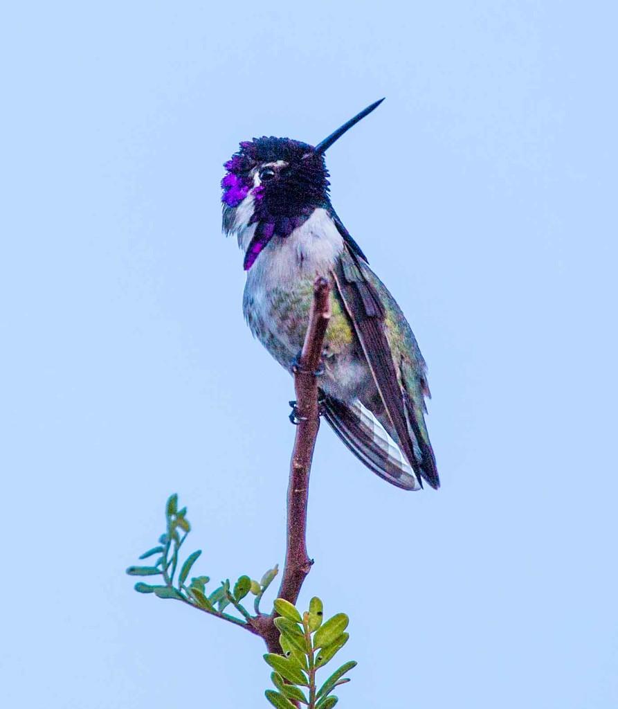 Purple Hummer high up in the tree by jyokota