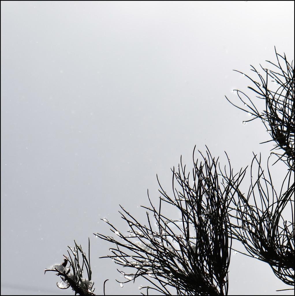 snowdrops again by aikimomm